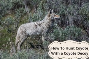 How To Hunt Coyote With a Coyote Decoy